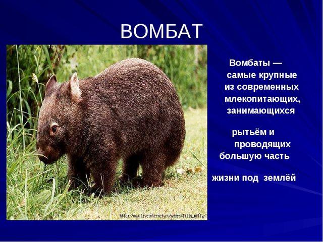 ВОМБАТ Вомбаты — самые крупные из современных млекопитающих, занимающихся рыт...