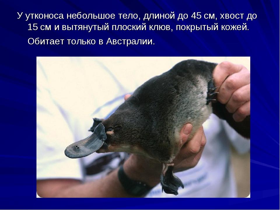 У утконоса небольшое тело, длиной до 45 см, хвост до 15 см и вытянутый плоски...