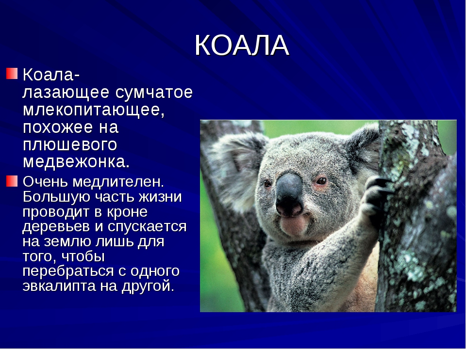 КОАЛА Коала- лазающее сумчатое млекопитающее, похожее на плюшевого медвежонк...
