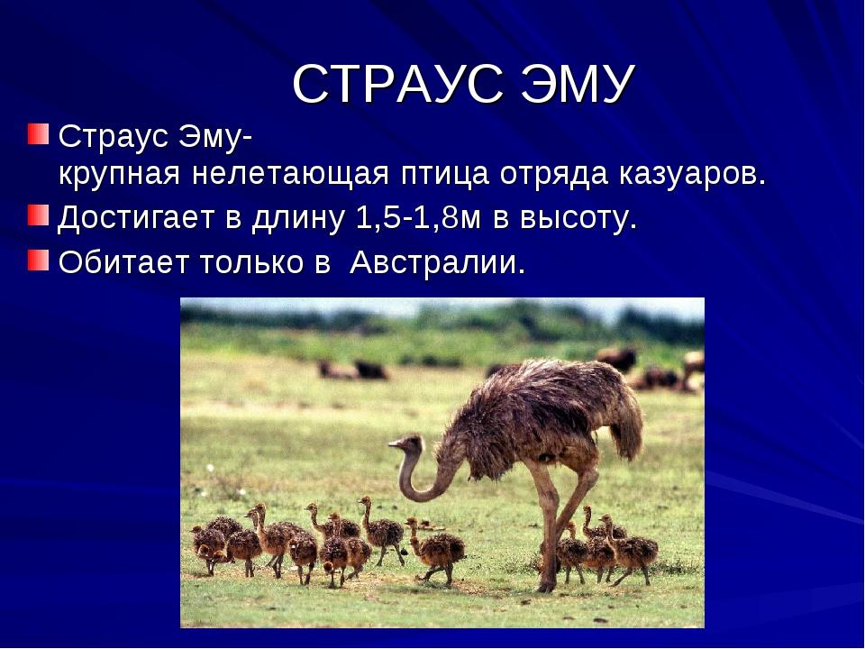 СТРАУС ЭМУ Страус Эму- крупная нелетающая птица отряда казуаров. Достигает в...