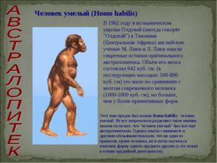 Человек умелый (Homo habilis) В 1962 году в вулканическом ущелье Олдувай (ино