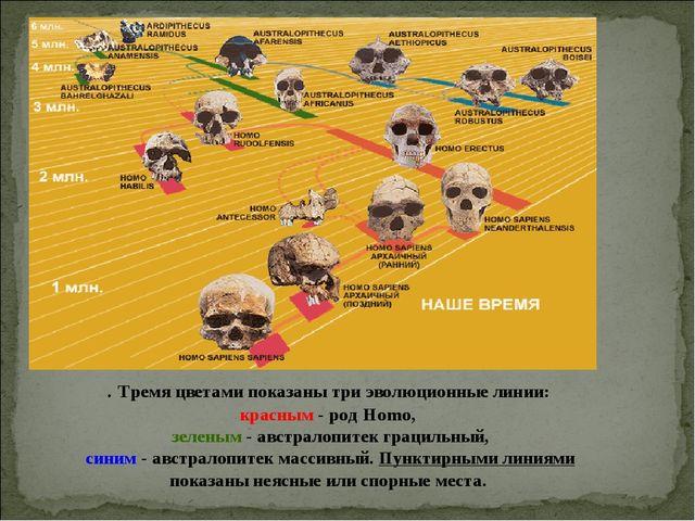. Тремя цветами показаны три эволюционные линии: красным - род Homo, зеленым...