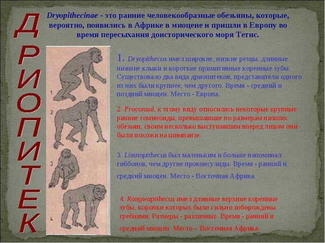 Dryopithecinae - это ранние человекообразные обезьяны, которые, вероятно, по...