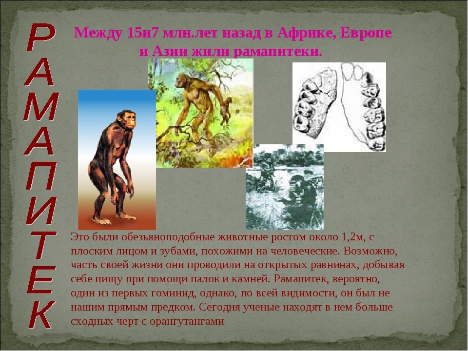 Между 15и7 млн.лет назад в Африке, Европе и Азии жили рамапитеки. Это были об...
