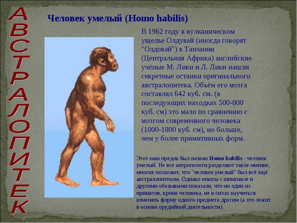 Человек умелый (Homo habilis) В 1962 году в вулканическом ущелье Олдувай (ино...
