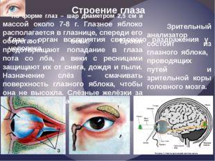 Строение глаза По форме глаз – шар диаметром 2,5 см и массой около 7-8 г. Гла