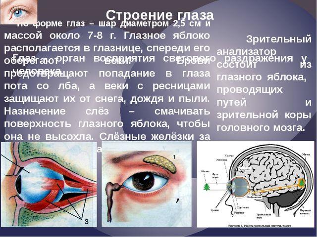 Строение глаза По форме глаз – шар диаметром 2,5 см и массой около 7-8 г. Гла...