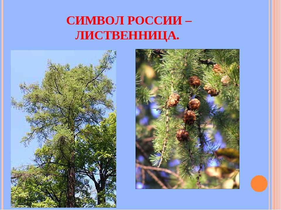 СИМВОЛ РОССИИ – ЛИСТВЕННИЦА.