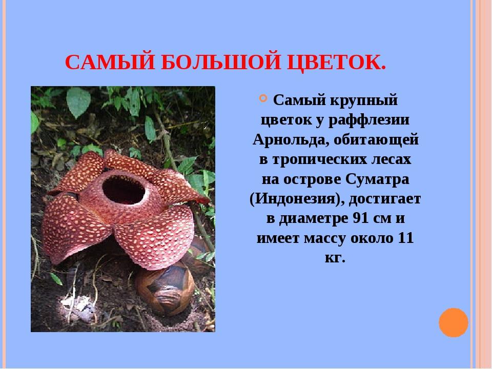 САМЫЙ БОЛЬШОЙ ЦВЕТОК. Самый крупный цветок у раффлезии Арнольда, обитающей в...
