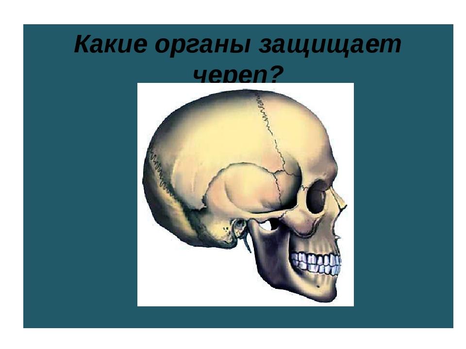 Какие органы защищает череп?