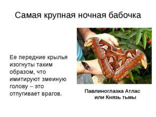 Самая крупная ночная бабочка Ее передние крылья изогнуты таким образом, что и