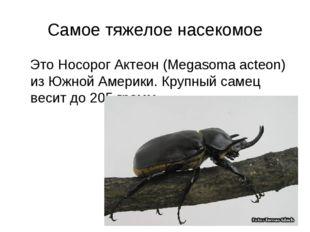 Самое тяжелое насекомое Это Носорог Актеон (Megasoma acteon) из Южной Америки