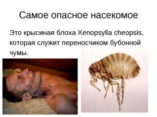Самое опасное насекомое Это крысиная блоха Xenopsylla cheopsis, которая служи