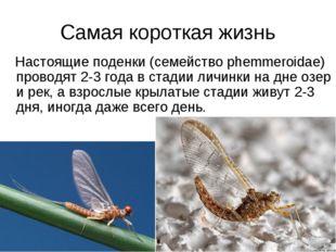 Самая короткая жизнь Настоящие поденки (семейство phemmeroidae) проводят 2-3