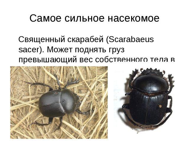 Самое сильное насекомое Священный скарабей (Scarabaeus sacer). Может поднять...
