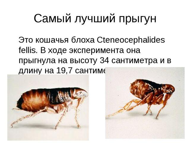Самый лучший прыгун Это кошачья блоха Cteneocephalides fellis. В ходе экспери...