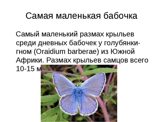 Самая маленькая бабочка Самый маленький размах крыльев среди дневных бабочек...