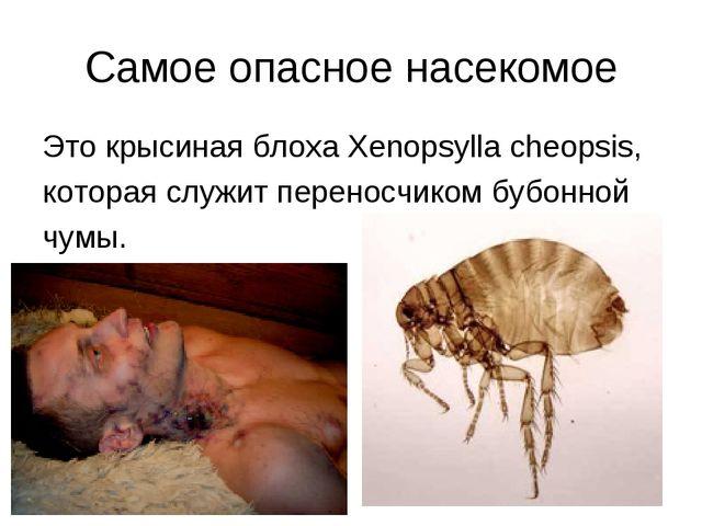Самое опасное насекомое Это крысиная блоха Xenopsylla cheopsis, которая служи...