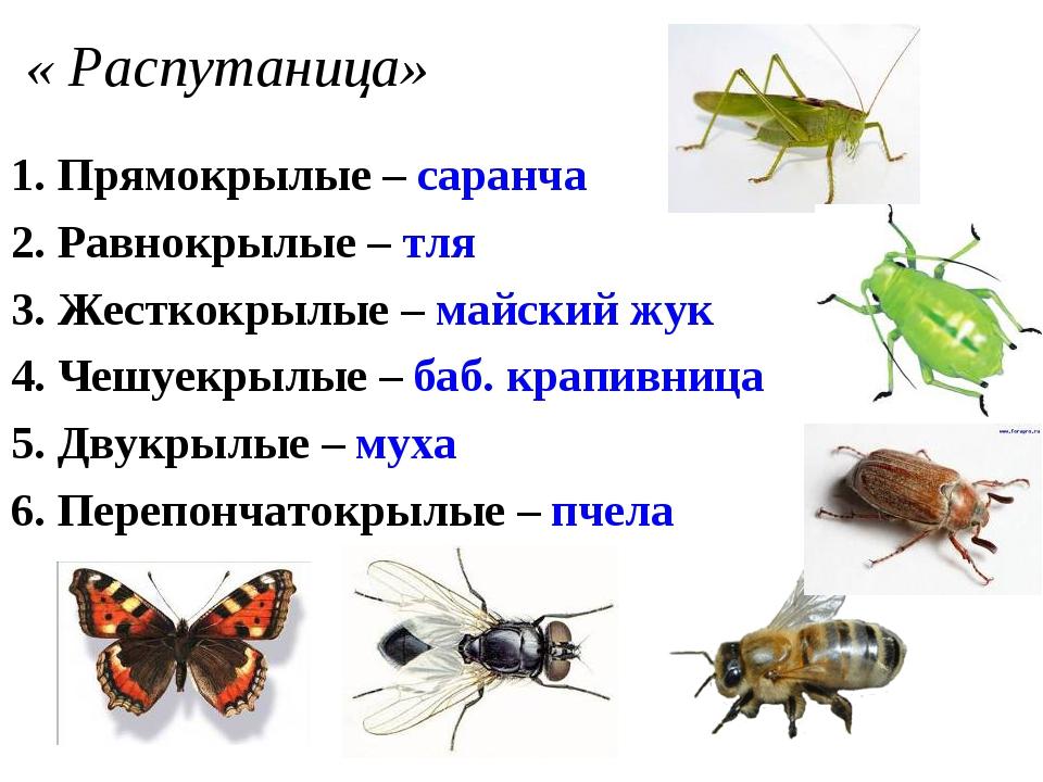 « Распутаница» 1. Прямокрылые – саранча 2. Равнокрылые – тля 3. Жесткокрылые...