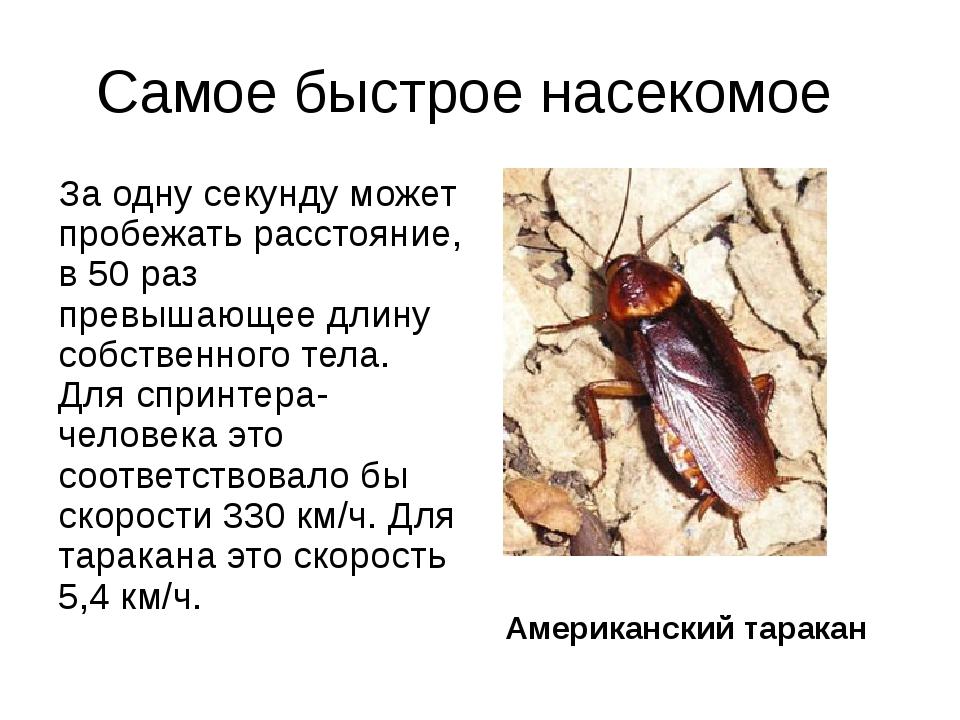 Самое быстрое насекомое За одну секунду может пробежать расстояние, в 50 раз...