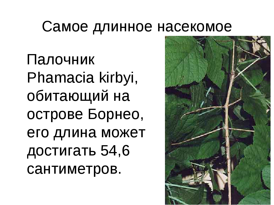 Самое длинное насекомое Палочник Phamacia kirbyi, обитающий на острове Борнео...