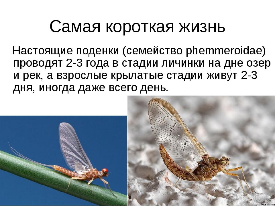 Самая короткая жизнь Настоящие поденки (семейство phemmeroidae) проводят 2-3...