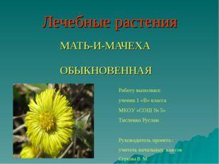 Лечебные растения МАТЬ-И-МАЧЕХА ОБЫКНОВЕННАЯ Работу выполнил: ученик 1 «В» кл