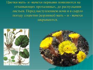 Цветки мать- и -мачехи первыми появляются на оттаивающих проталинках, до расп