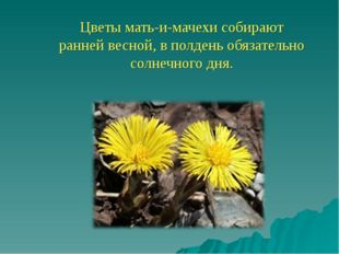 Цветы мать-и-мачехи собирают ранней весной, в полдень обязательно солнечного