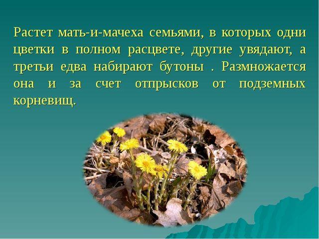 Растет мать-и-мачеха семьями, в которых одни цветки в полном расцвете, други...