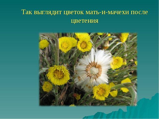 Так выглядит цветок мать-и-мачехи после цветения
