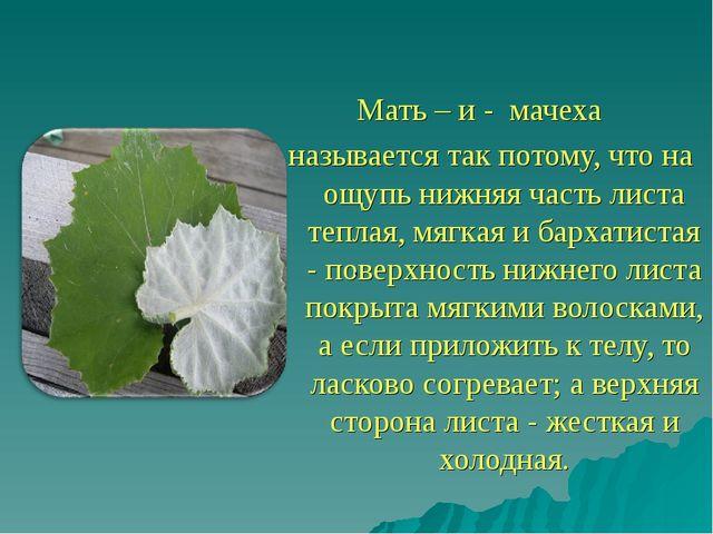 Мать – и - мачеха называется так потому, что на ощупь нижняя часть листа теп...