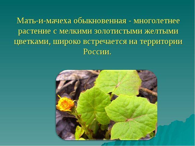 Мать-и-мачеха обыкновенная - многолетнее растение с мелкими золотистыми желт...