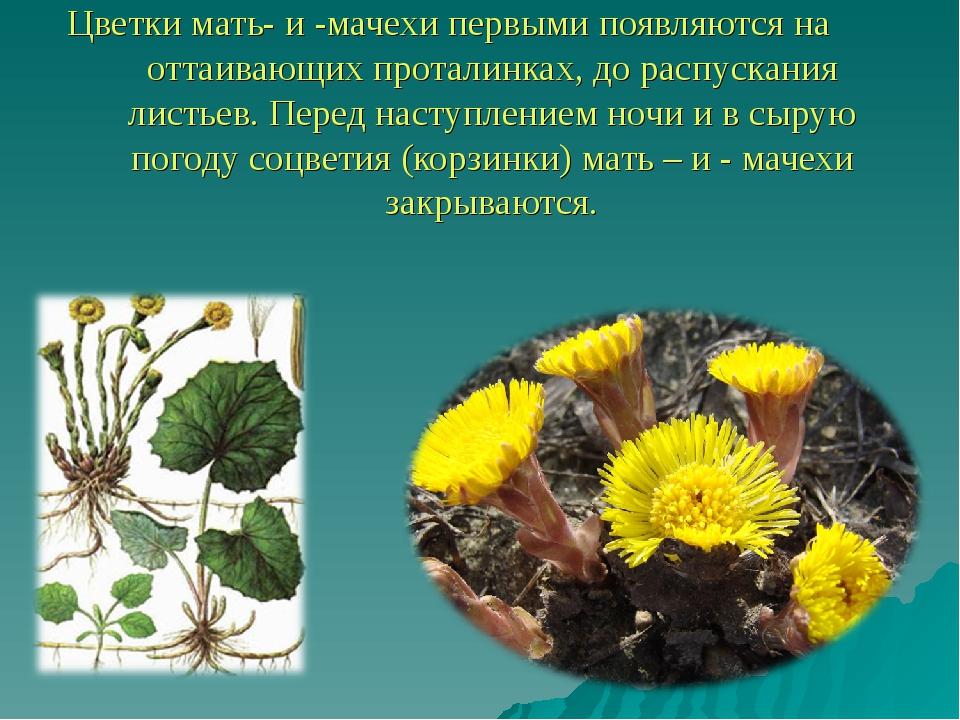 Цветки мать- и -мачехи первыми появляются на оттаивающих проталинках, до расп...