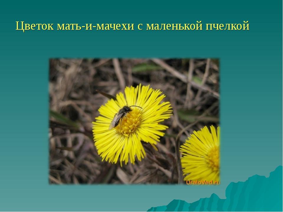 Цветок мать-и-мачехи с маленькой пчелкой
