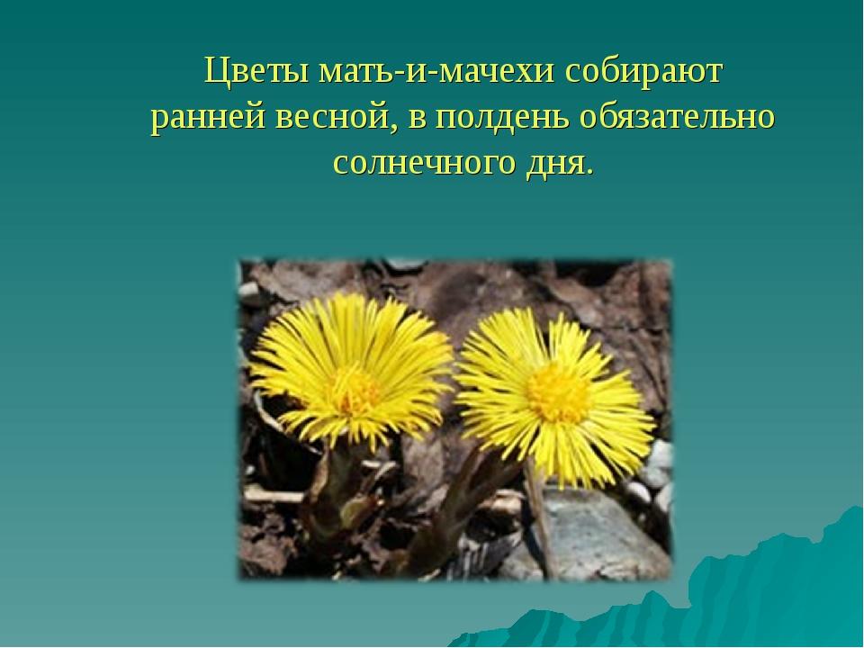 Цветы мать-и-мачехи собирают ранней весной, в полдень обязательно солнечного...