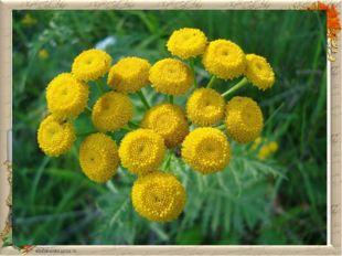 ПИЖМА Пижма обыкновенная относится к многолетним травам. Её ещё называют поле