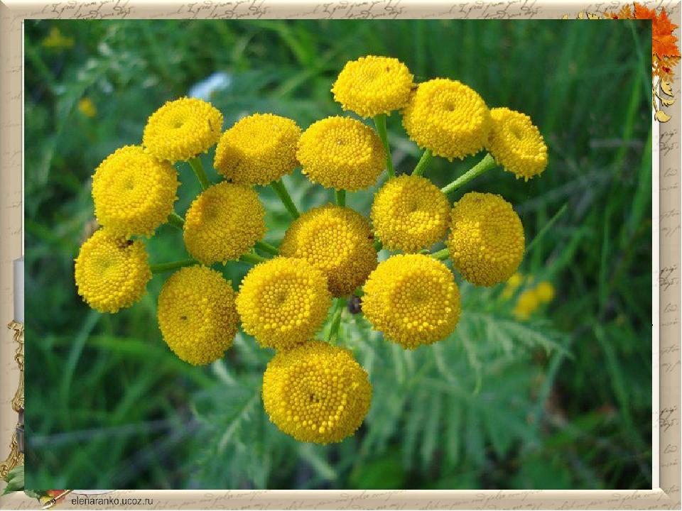 ПИЖМА Пижма обыкновенная относится к многолетним травам. Её ещё называют поле...