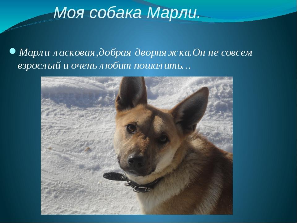 Моя собака Марли. Марли-ласковая,добрая дворняжка.Он не совсем взрослый и оче...