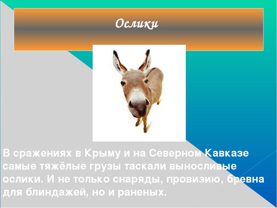 Ослики В сражениях в Крыму и на Северном Кавказе самые тяжёлые грузы таскали...