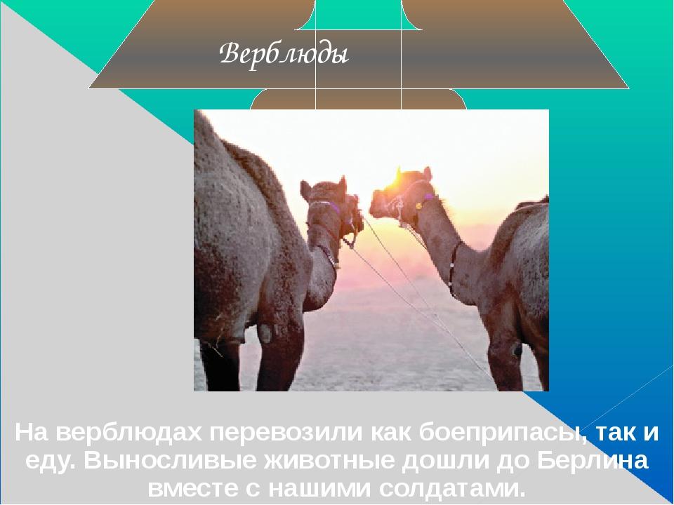 На верблюдах перевозили как боеприпасы, так и еду. Выносливые животные дошли...