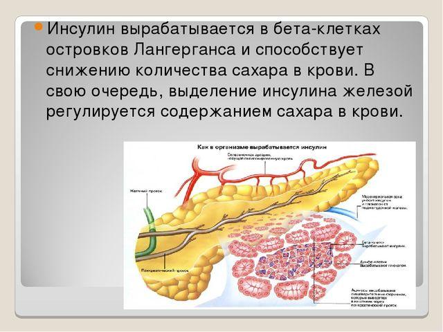 Инсулин вырабатывается в бета-клетках островков Лангерганса и способствует сн...
