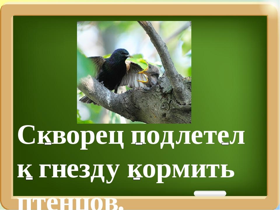 Скворец подлетел к гнезду кормить птенцов.