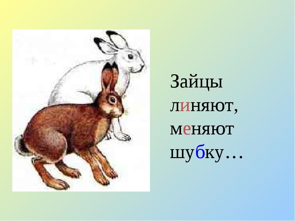Зайцы линяют, меняют шубку…