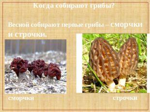 Когда собирают грибы? Весной собирают первые грибы – сморчки и строчки. сморч