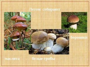 маслята белые грибы боровики Летом собирают