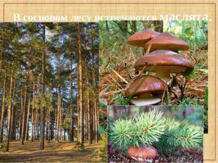В сосновом лесу встречаются маслята.