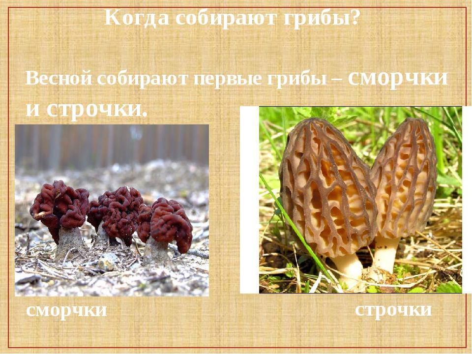 Когда собирают грибы? Весной собирают первые грибы – сморчки и строчки. сморч...