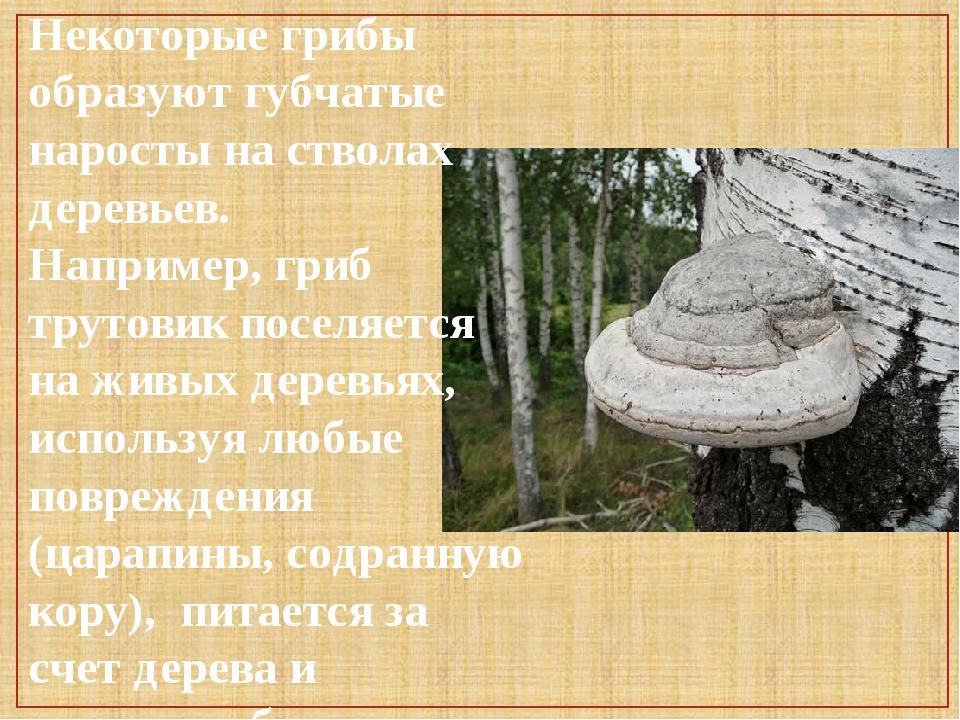 Некоторые грибы образуют губчатые наросты на стволах деревьев. Например, гриб...