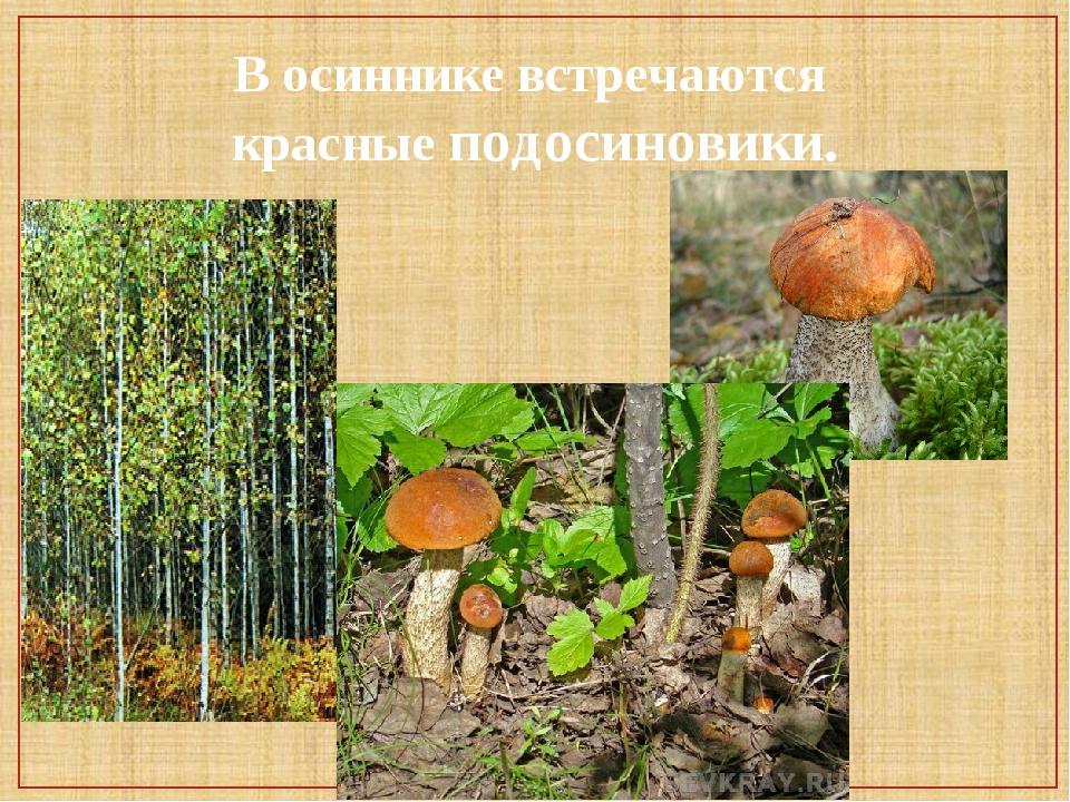 В осиннике встречаются красные подосиновики.